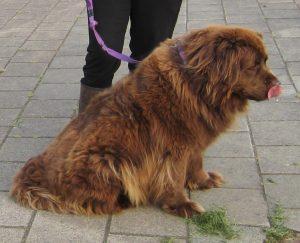 trekken aan de lijn hondentraining