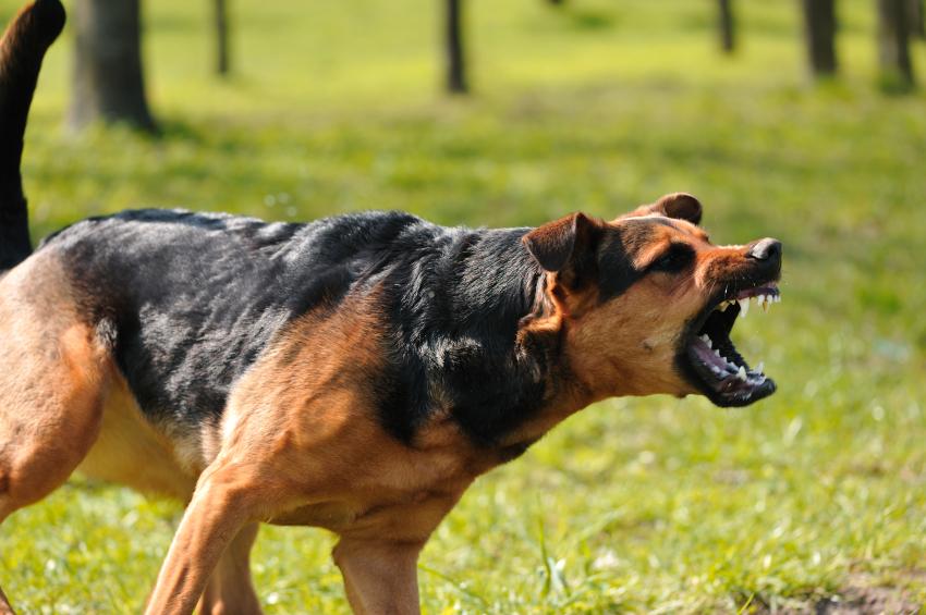 overbeschermende hond